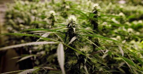 cannabis-cultivo2-700