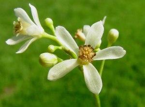 neem-flor-2