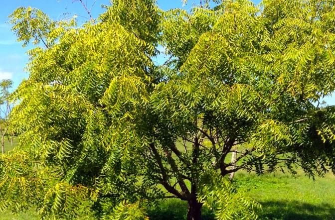 Neem: El árbol sagrado y repelente.