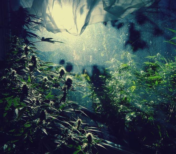 Cepas de cannabis: ¿Son diferentes las distintas cepas de cannabis?